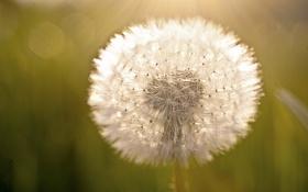 Обои цветок, макро, одуванчик, семена, всет