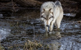 Картинка волк, хищник, прогулка, водоём