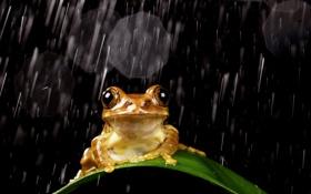 Картинка капли, лист, дождь, лягушка