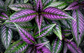 Обои колеус блюме, растение, листья, краски
