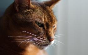 Обои кот, солнечные лучи, морда, усы, свет