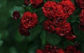 Обои листья, капли, макро, розы