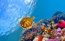 Обои рыбы, черепаха, underwater, подводный, fishes, рифы, Красное море