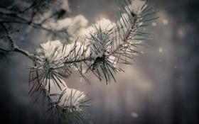 Обои зима, снег, елка, ветка