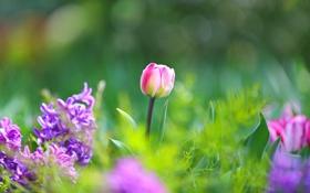 Картинка зелень, трава, макро, цветы, весна, Тюльпаны, розовые