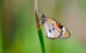 Картинка бабочка, крылья, фокус, насекомое, травинка