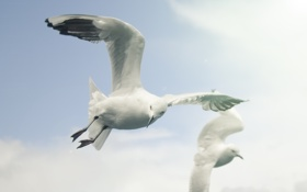 Обои белый, небо, птицы, чайка, sky, fly, летать