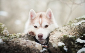 Картинка зима, морда, снег, собака