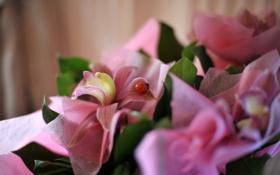 Картинка цветок, цветы, розовый, нежный, божья коровка