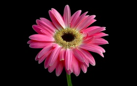 Картинка стебель, цветок, лепестки, гербера