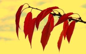 Обои листья, осень, багрянец, ветка, природа
