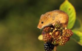 Обои ягоды, полевка, ежевика, рыжая, мышь