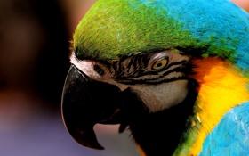Обои взгляд, попугай, красивый