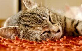 Обои кот, ковер, глазки, спит, закрыты
