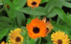 Обои цветы, обои, оранжевые