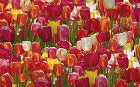 Обои тюльпаны, бутоны, много