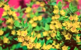 Обои розовый, Цветы, зелёный, жёлтые, puxa, много цветков
