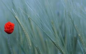 Картинка пшеница, поле, природа, мак