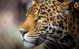 Картинка морда, ягуар, профиль, большая хищная кошка