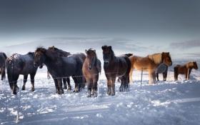 Обои зима, снег, Iceland, кони
