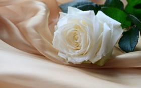Обои цветок, нежность, роза