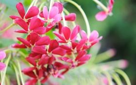 Обои красные, гроздь, лепестки, макро, цветы