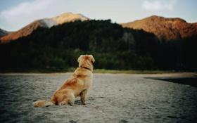 Обои пляж, собака, шерсть