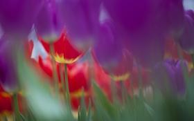 Картинка природа, фокус, весна, фиолетовые, тюльпаны, розовые