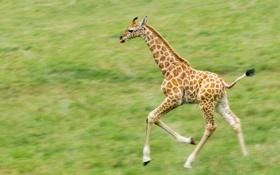 Обои бег, жираф, пятна, детеныш, молодой