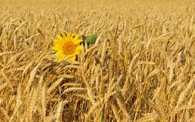 Обои поле, ветер, подсолнух, колосья