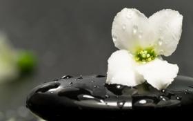 Обои цветок, обои, экибано