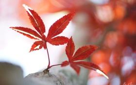 Картинка листья, ветка, красные, клен