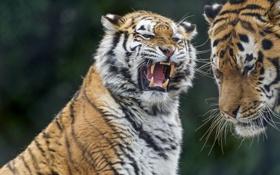 Картинка кошка, тигр, пасть, оскал, злой, амурский, ©Tambako The Jaguar