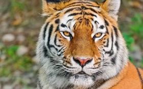 Обои усы, взгляд, морда, тигр, tiger, сибирский, обои 4х3