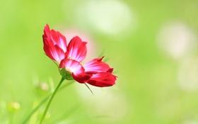 Обои природа, цветок, Cosmos