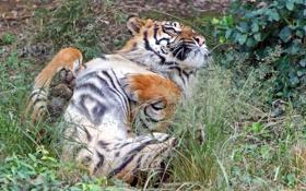 Картинка кошка, трава, тигр, отдых, суматранский