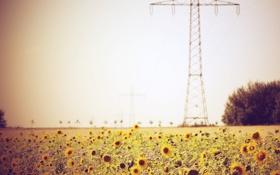 Картинка поле, лето, подсолнухи, провода