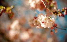 Картинка макро, цветы, вишня, ветка, весна, сакура, цветение