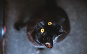 Картинка глаза, кот, животное, черный, желтые, шерсть
