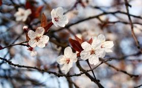 Обои листья, весна, цветение, ветви, природа, spring, цветы