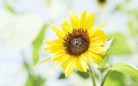 Картинка лето, растение, лепестки, размытость, подсолнух, цветок, желтые