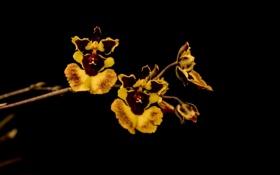 Обои желтый, орхидеи, лепестки, яркий, ветка, темный фон, пестрый