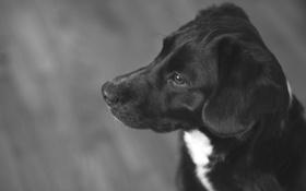 Картинка собака, шерсть, черно-белое