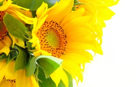 Картинка подсолнухи, цветы, лепестки, листики