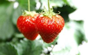 Картинка макро, ягоды, клубника, фрукты, витамины, macro, strawberry