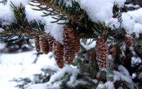 Обои зима, снег, елка, шишки
