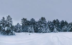 Обои картинки, леса, фото, ели, дерево, зимние пейзажи, деревья