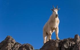 Обои горный козёл, небо, скалы, рога, белый