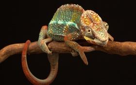 Обои хамелеон, цвет, ветка, хвост