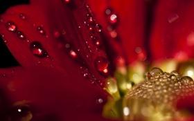 Обои капли, цветы, красный, георгин, Drop, Delight
